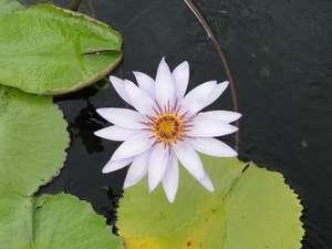 lotusfein